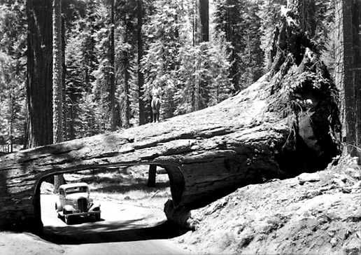 Sequoia_Tunnel_Tree